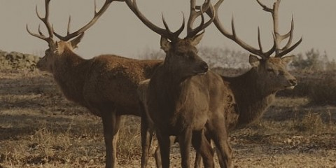Boring stags